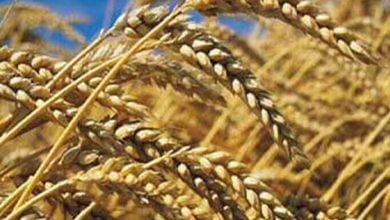 صورة وزارة التجارة تؤكد أن مخزونات الحبوب والشراءات تغطي الطلب المحلي