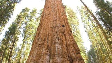 صورة شجرة جنرال شيرمان في الولايات المتحدة الأمريكية الأكبر في العالم حيث تبلغ 52508 قدم مكعب (1487 متر مكعب