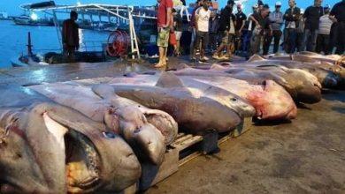 صورة مخاوف من تواجد أسماك القرش في السواحل التونسية : عبد الله الرابحي يوضح