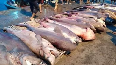 صورة تم عرضها بميناء الصيد البحري بقليبية : هذه الأسماك لا تشكل خطرا