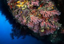 Photo de La Tunisie œuvre pour préserver le corail rouge en Méditerranée