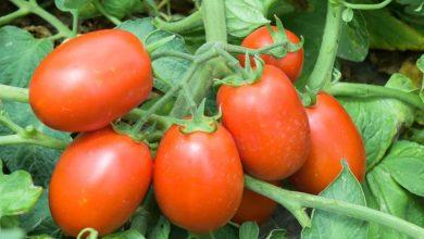 Photo de Sicam AGRI, Pionnière du secteur de tranformation de tomate fraiche